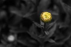 bloom (Greg Rohan) Tags: blur dof depthoffield yellowflower nikon nikkor blooming bloom nature yellow spotcolour bud d750 2017 macro