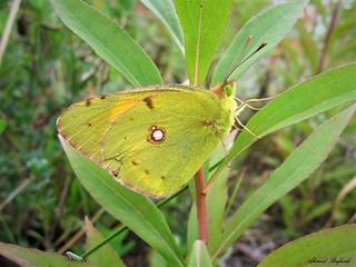 Butterfly 1536