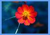 Red in blue (Pensive glance) Tags: cosmossulphureus cosmos flower fleur plant plante