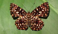 Calydna charila female (Camerar 4 million views!) Tags: butterfly calydna calydnacharila peru riodinidae butterflies insect