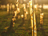 Spirals (dave777_uk) Tags: backlit backlight tubes plastic sapling tree trees sunset nottingham boulevard university olympus epl7