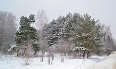 Bright frost (МирославСтаменов) Tags: russia moscowregion pushchino tree frost crown pine shrub winter snow