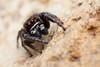 Pellenes tripunctatus ♂ (Jerome Picard) Tags: lieu pellenes salticidae tripunctatus douélafontaine araignée salticidé saltique salticide maineetloire mpe canon arthropoda araignéesauteuse jumpingspider