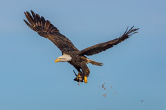 The opportunist (Peter Stahl Photography) Tags: baldeagle eagle pigeon hunting winter snow prey