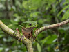 Giant Monkey Frog (Tris Enticknap) Tags: giantmonkeyfrog frog amphibians phyllomedusabicolor peru manubiospherereserve manunationalpark amazonbasin manu biosphere reserve