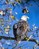 Majestic Bald Eagle (Patrick Dirlam) Tags: trips northcounty birds birdsofprey bald eagle