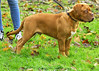 Iwan 17 december 2017 (dickjan thuis) Tags: bordeauxdog mastinofrancese frenchmastiff doguedebordeaux