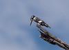 Pied Kingfisher ( Ceryle rudis) Graufischer (jaffles) Tags: southafrica südafrika krügernationalpark kruger np wildlife safari natur nature beautiful olympus