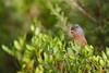 Tristram's Warbler | atlassångare | Sylvia deserticola (Daniel.Pettersson) Tags: sylviadeserticola tristramswarbler atlassångare morocco birds bird fåglar fågel marocko atlasmountains