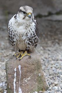 _5D_3315 Gerfalke (Falco rusticolus)