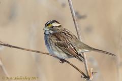 White-throated Sparrow (Matt Shellenberg) Tags: whitethroated sparrow whitethroatedsparrow riverlands migratory bird sanctuary riverlandsmigratorybirdsanctuary