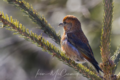 Red Crossbill (steelers_#1fan) Tags: weather amateurs algonquinpark redcrossbill cold winter canada canon sigma 150600mm ontario colour cottagelife photographerlife bokeh