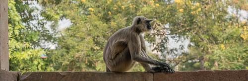 Langurs gris à Champaner, Gujarat, Inde
