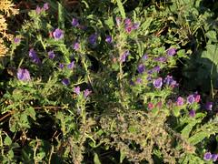 Viper's-bugloss (treegrow) Tags: spain lifeonearth nature plant angiosperms boraginaceae echium taxonomy:genus=echium