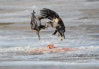Juvenile Bald Eagles spar over a fish carcass.
