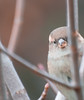 Peak-a-boo. (Omygodtom) Tags: funny bird outside sparrow wildlife wild nikkor nature nikon ngc usgs urbunnature natural dof d7100 selectivefocus nikon70300mmvrlens flickr explorer google tannersprings