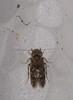 3mm Micro moth mimic micro caddis-fly Hydroptilidae Tricoptera Airlie Beach rainforest P1130645 (Steve & Alison1) Tags: micro moth mimic caddisfly hydroptilidae tricoptera airlie beach rainforest 3mm