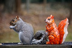 Ever Feel Like You're Being Watched? (Anne Ahearne) Tags: squirrel gray grey cute funny wild animal nature wildlife