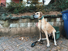 2/365  {Explored 1/4/2018} (moke076) Tags: 2018 365 project 365project project365 oneaday photoaday vsco vscocam iphone cell moose great dane dog animal tiny small children kid chair furniture sidewalk garbage trash cabbagetown atlanta ga sitting down funny humorus flickr explore explored