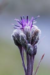 Saussurée des Alpes (-Dop-) Tags: asteraceae termignon vanoise france saussureaalpina