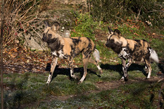African painted dogs (Cloudtail the Snow Leopard) Tags: wildhund tier animal mammal säugetier raubtier afrikanischer lycaon pictus hund african wild dog cape hunting painted wolf zoo basel