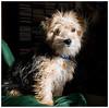 Poppy (Fishlady_UK) Tags: terrier puppy yorkie