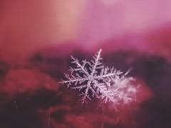 Pretty little crystal (jilllian2) Tags: pink olloclip realsnowflake crystal snowcrystal frozen ice nature iphone macro snowflake