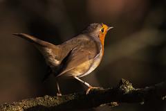 Robin (iantaylor19) Tags: warwickshire wildlife trust brandon marsh reserve robin british birds