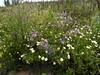 Flora at Cape Kaliakra, Bulgaria (cod_gabriel) Tags: bulgaria kaliakra capekaliakra flowers flori dobrogea dobruja dobrudja cadrilater българия بلغاريا bulgarien 불가리아 bulgarie bulgária bułgaria bulgarije болгарія βουλγαρία болгария 保加利亚 bulgaristan ประเทศบัลแกเรีย