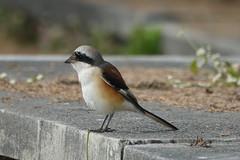 Shrike (anuradhac) Tags: shrike uttarakhand birds