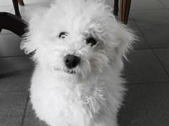 Naïs veut bien remplacer le vilain Panda ! (Annelise LE BIAN) Tags: naïs chien bichonfrisé animal alittlebeauty coth coth5