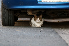 Put a cat in your engine (Nadia (no awards please !)) Tags: chat cat voiture car animal pet