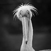 Pelican Portrait (bryanlotz) Tags: bird animal nature wildlife pelican feather beak animalsinthewild outdoors zoo closeup animalhead