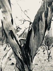 Burnt manzanita (cyprest) Tags: wildfiredestruction manzanita