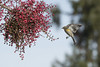 Give Me the Green Light II (opheliosnaps) Tags: wild nature outdoors outdoor berry berries red green yellow rumped warbler setophaga coronata santa rosa california sonoma county usa bif flight stop action wings animal