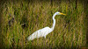 Grande Aigrette - Floride, USA - 0313 (rivai56) Tags: bocaraton floride étatsunis us un des plus beaux parcs à oiseaux de la green cay nature center grandeaigrettefloride usa