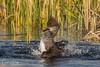 Feisty Lady (Carol Huffman) Tags: birds hoodedmerganser vierawetlands fl wetlands