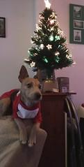 Poppy loves Christmas (CraftyBev) Tags: christmaslights lights tree christmas christmasdoggie christmastree dog