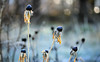 Frozen White Out (Lala Lands) Tags: frostedblackeyedsusans rudbeckia frostatsunrise decembergardens freezeframe bokeh shallowdof nikkor105mmf28 nikond7200