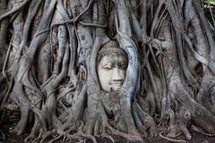 Buddha inside a tree in Ayutthaya (Tiziana de Martino) Tags: tree face buddha buddhism religion places visit famouse history historical city thailand ngc