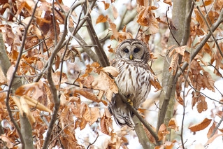 Barred owl or hoot owl  (as I was leaving Lake Lynn)