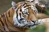 Fedor in the water (Tambako the Jaguar) Tags: tiger big wild cat siberian amur male portrait face lying water bathing calm looking zoo zürich switzlerland nikon d5