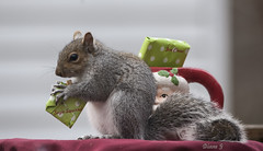 Squirrel's present (Diane G. Zooms---Mostly Off) Tags: squirrel christmassquirrel dianegiurcophotography easterngreysquirrel alittlebeauty squirrels bestofsquirrels greatphotographers fantasticnature