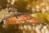 crabNov21-17 (divindk) Tags: hawaii hawaiianislands maui trapeziatigrina uluabeachpark underwater claws diverdoug diving eyes hidinginahole marine ocean redspottedguardcrab reef sea underwaterphotography