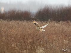 Hibou des marais en Chasse (alainpoirier48) Tags: shortearedowl hiboudesmarais owlhunting