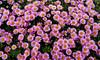 Bonne et Heureuse Année 2018 à vous tous ! (jeanpierrefrey) Tags: fleurs bretagne finistère îledebatz