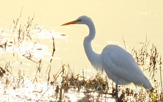 Great Egret- Sunset starts very early this time of year...