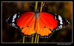 Papallona tigre (Danaus chrysippus) Plain Tiger (El Perelló, la Ribera Baixa, València, Spain) (Rafel Ferrandis) Tags: papallona tigre insecte perelló macro flaix eos70d ef100mmlmacro macrotwinlitemt24ex