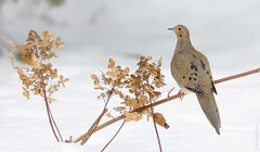 Mourning Dove on Winter Hydrangea (sfdonald) Tags: mourningdove tourterelletriste zenaidahuilota zenaidamacroura dove snow