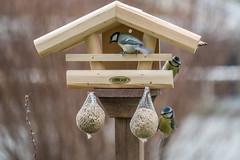 Birdhouse (holgerreinert) Tags: 2017 dezember birds birdhouse vögel bluetit tit vogelhaus blaumeise kohlmeise